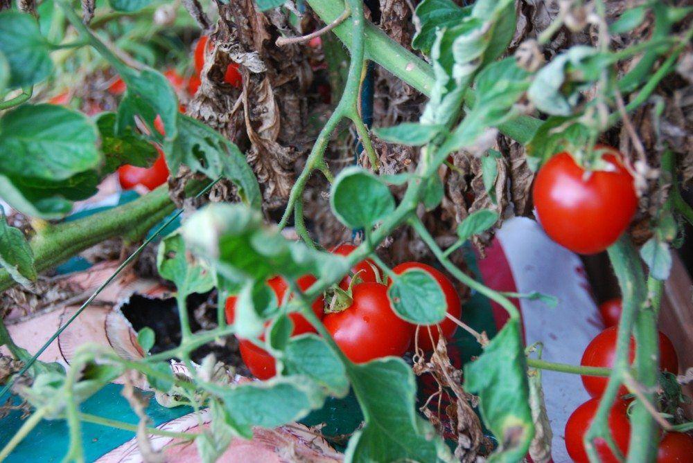 Tomatketchup er meget nem at lave selv. Enten med modne tomater fra haven - eller dem fra supermarkedet. Foto: Guffeliguf.dk.