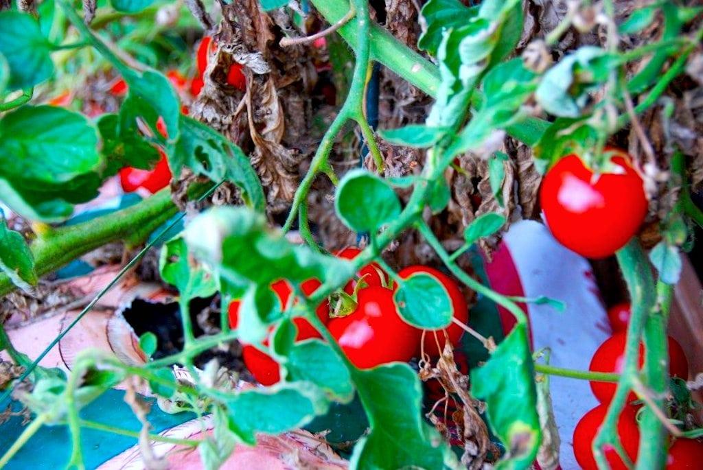Verdens bedste tomatketchup – den er hjemmelavet