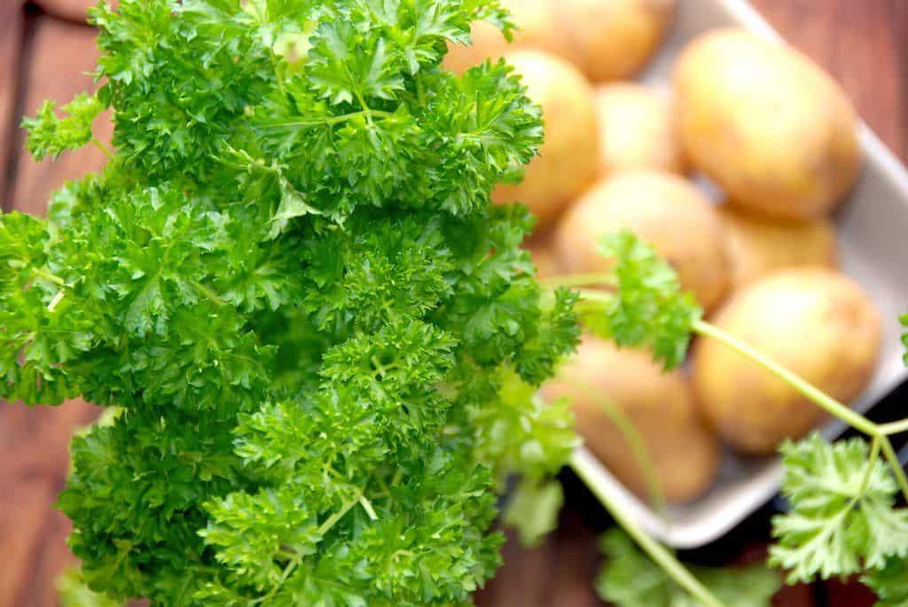 Persille er en af de mest anvendte krydderurter, og den bruges i utallige retter. Alt fra persillesovs til fyldt mørbrad, og persille er super sund, så det er godt at spise meget af den. Foto: Madensverden.dk.