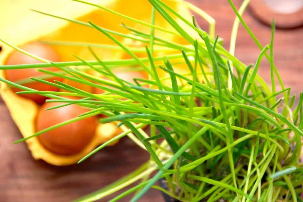 Purløg – så sundt er det at spise purløg