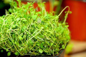 Timian er ikke bare smuk og grøn, den indeholder også en masse sunde ting, der er godt for dit helbred. Du kan blandt andet nemt fremstille din egen hostesaft med hjælp fra lidt af timianplanten. Foto: Madensverden.dk.