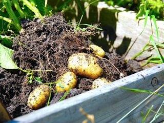 Billede med nye kartofler, der lige er gravet op