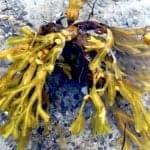 billede med blæretang