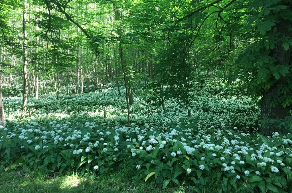 Ramsløg i skoven