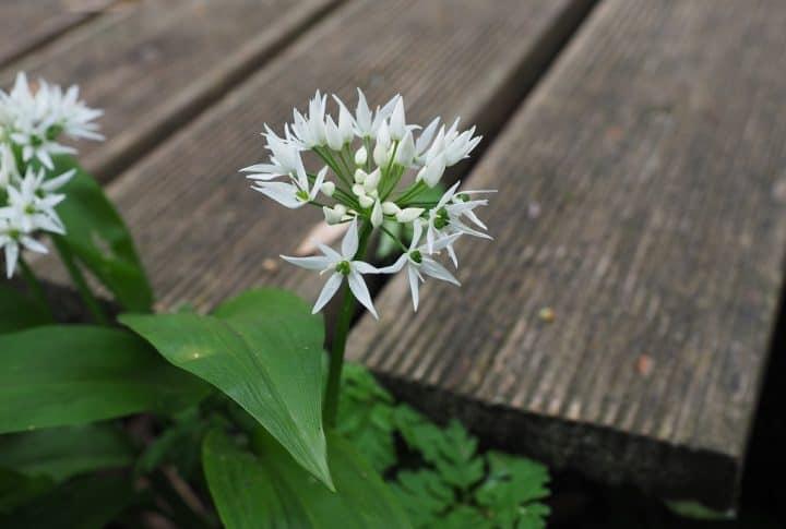 Ramsløg med blomst er en råvare i naturen som findes i marts mdr.
