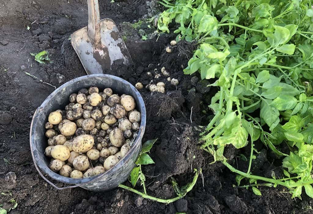 Danske kartofler graves op ad jorden