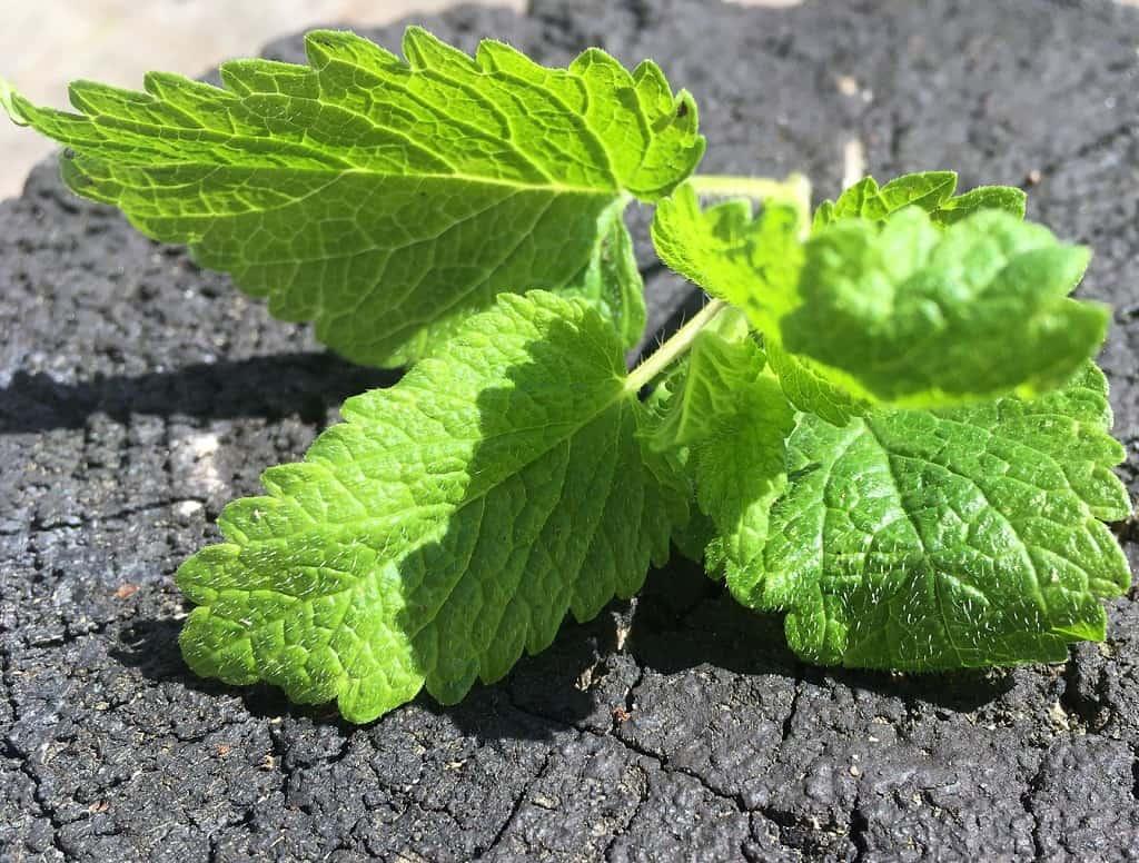 Citronmelissens blade er dunede med en dejlig duft. Den har været brugt som medicinsk plante siden oldtiden, og skulle både virke på herpes og søvnløshed. Foto: Karen Seneca/Madensverden.dk.