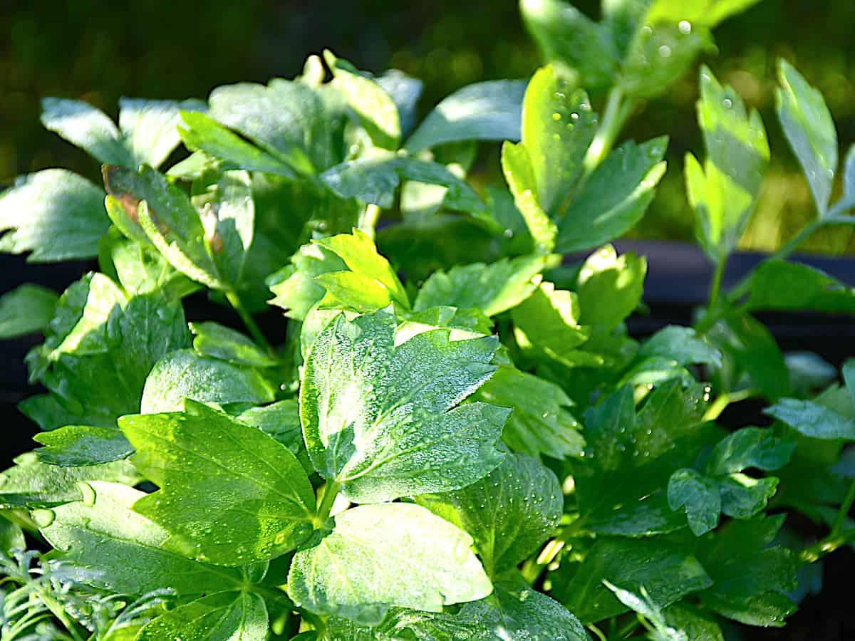 Løvstikkes blade kan minde om bredbladet persille i udseende. Der sniger sig også en smag af persille ind i urten, som har en kraftig smag og kan bruges til lidt af hvert. Foto: Holger Rørby Madsen, Madensverden.dk.