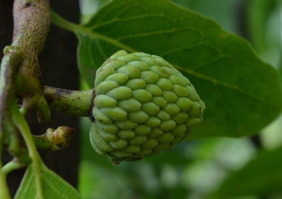 En cherimoya på en gren til artikel om eksotiske frugter.