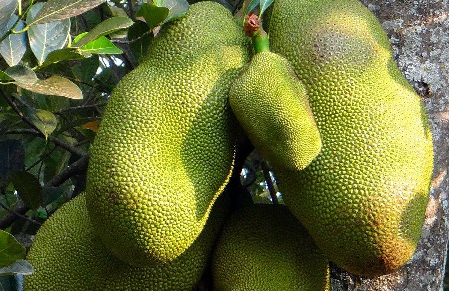 Jackfruits - eksotiske frugter.
