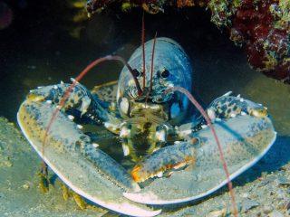 Hummeren under vand