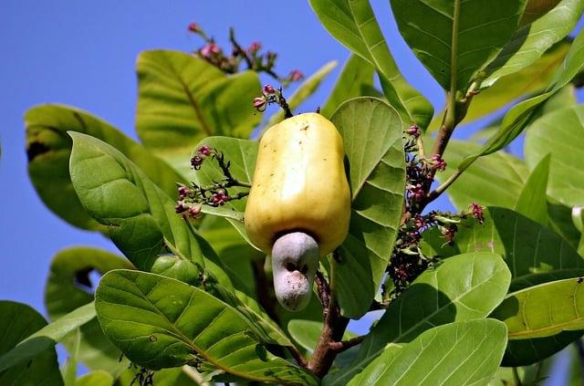Cashewnød, der vokser på et træ.