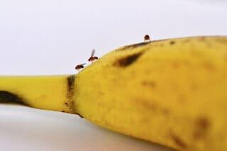 bananfluer på banan