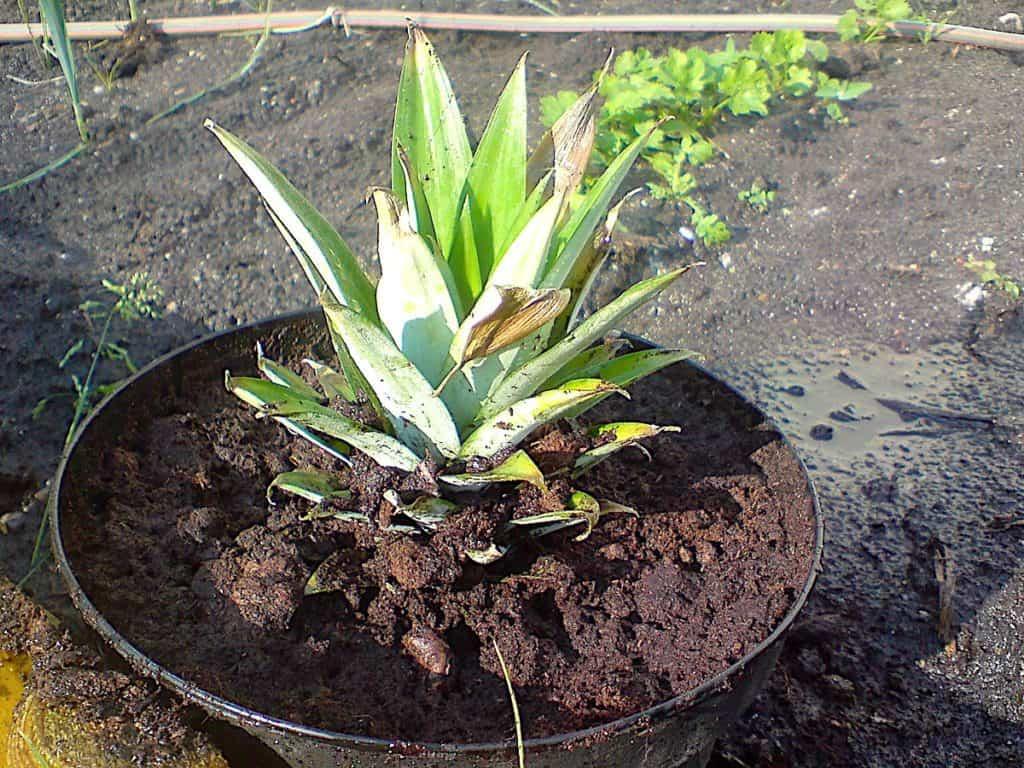 Gendyrkning af ananas er nemt, og her er toppen fra en ananas tørret i en uge, og derefter plantet ud. Foto: Holger Rørby Madsen, Madensverden.dk.