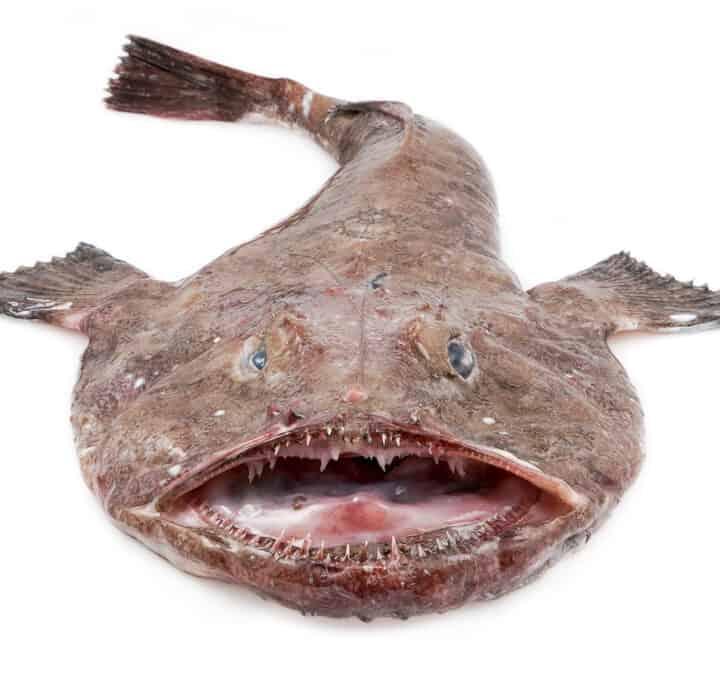 havtaske fisk fakta wiki