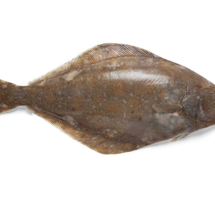helleflynder fisk fakta wiki